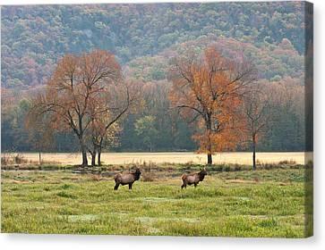 Arkansas Elk - 7802 Canvas Print