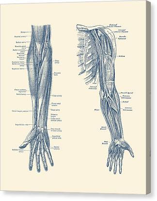 Arm And Hand Diagram - Dual View - Vintage Anatomy Canvas Print