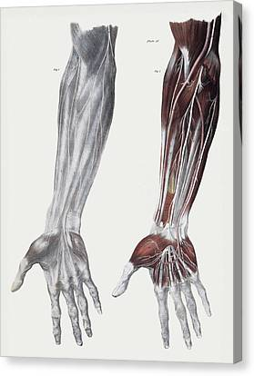 Median Canvas Print - Arm Nerves by Sheila Terry