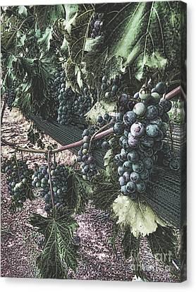 Grape Leaf Canvas Print - Arrington Vineyards Splendor by Luther Fine Art