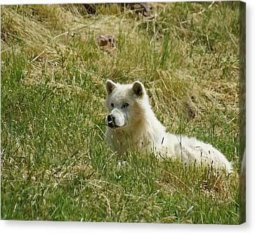 Wolves Canvas Print - Artic Wolf 2 Dry Brushed by Ernie Echols