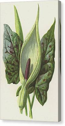 Arum, Cuckoo Pint Canvas Print by Frederick Edward Hulme