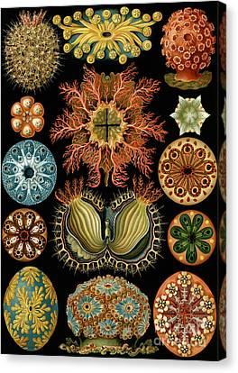 Ascidiae Canvas Print by Ernst Haeckel