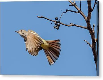 Ash-throated Flycatcher Flight Canvas Print