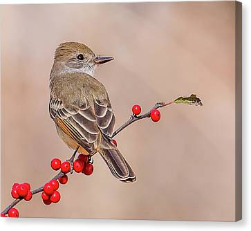 Ash-throated Flycatcher On A Branch Canvas Print