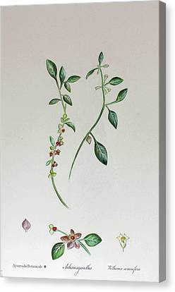 Interior Still Life Canvas Print - Ashawagandha/ Indian Ginseng by Ranjana Sharda