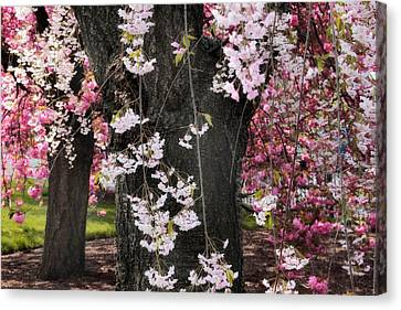 Asian Cherry In Bloom Canvas Print by Jessica Jenney