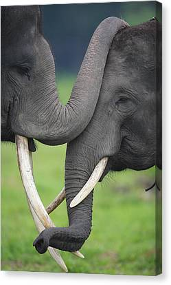 Asian Elephant Greeting Canvas Print by Cyril Ruoso