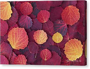 Aspen Autumn Canvas Print by Tim Gainey