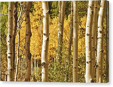 Aspen Gold Canvas Print by James BO  Insogna