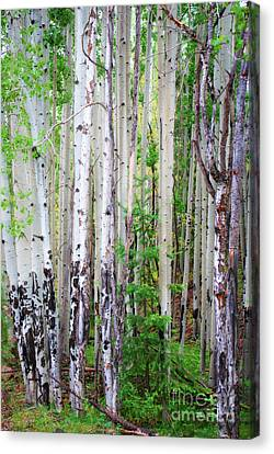 Aspen Grove In The White Mountains Canvas Print by Donna Greene
