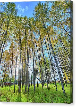 Aspen Grove Canvas Print