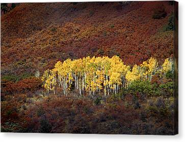 Aspen Grove Canvas Print by Rich Franco