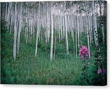 Aspen Grove Canvas Print by Rod Kaye