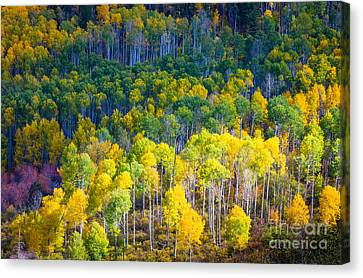 Aspen Hillside Canvas Print by Inge Johnsson