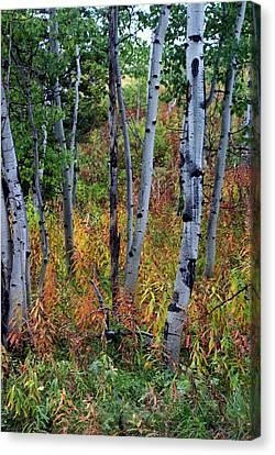 Aspen In Fall Canvas Print by Marty Koch
