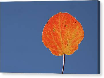 Canvas Print featuring the photograph Aspen Leaf 1 by Marie Leslie
