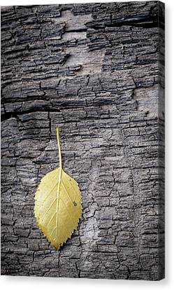 Aspen Leaf On Bark Canvas Print by Mary Lee Dereske