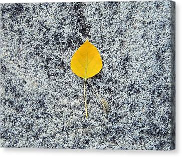 Aspen Leaf On Stone Canvas Print