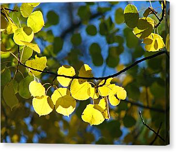 Aspen Leaves 1 Canvas Print