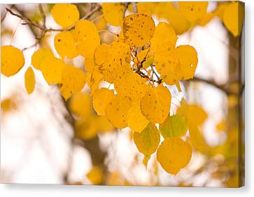 Aspen Leaves Canvas Print by James BO  Insogna