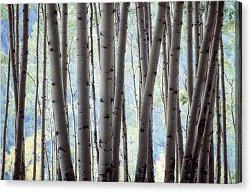 Aspen On The Edge Of Bear Creek Canvas Print