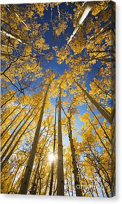 Aspen Tree Canopy 3 Canvas Print by Ron Dahlquist - Printscapes