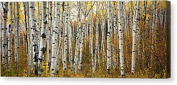 Thin Canvas Print - Aspen Tree Grove by Ron Dahlquist - Printscapes