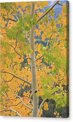 Canvas Print featuring the photograph Aspen Watching You by David Chandler
