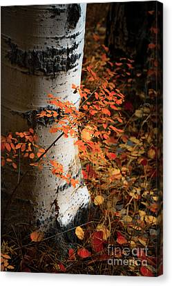 Canvas Print featuring the photograph Aspen Woods by The Forests Edge Photography - Diane Sandoval