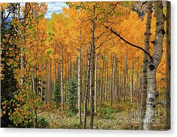 Aspens Aglow  Canvas Print