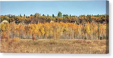 Aspens In Autumn Canvas Print