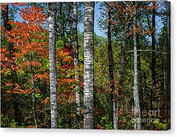 Canvas Print featuring the photograph Aspens In Fall Forest by Elena Elisseeva