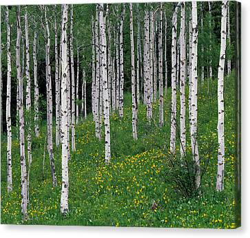 Aspens In Spring Canvas Print by Leland D Howard
