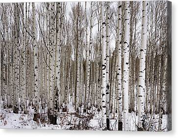 Aspens In Winter - Colorado Canvas Print