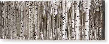 Aspens In Winter Panorama - Colorado Canvas Print