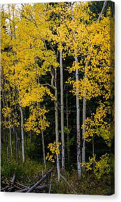 Aspens Canvas Print by Jay Stockhaus