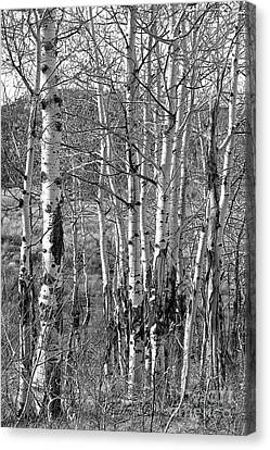 Aspens Canvas Print by Kathy Russell