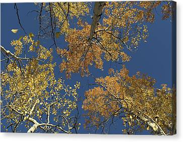 Canvas Print featuring the photograph Aspens Looking Up by Mary Hone
