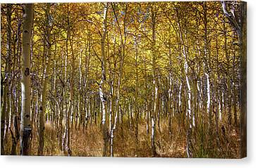 Aspens  Canvas Print by Ralph Vazquez