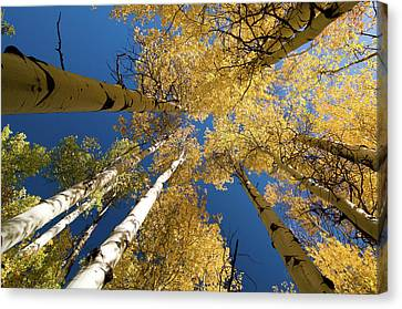 Canvas Print featuring the photograph Aspens Up by Steve Stuller