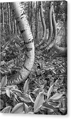 Aspens With Curves Canvas Print