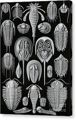 Aspidonia Canvas Print by Ernst Haeckel