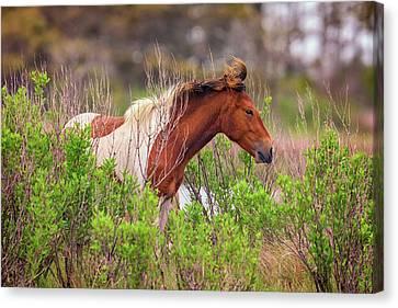 Wild Horse Canvas Print - Assateague Pinto by Rick Berk