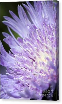 Aster Bloom Canvas Print by Jeannie Burleson