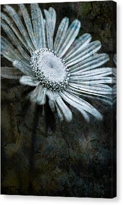Aster On Rock Canvas Print by  Onyonet  Photo Studios