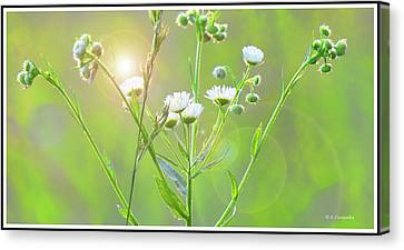 Asters At Sunset Canvas Print