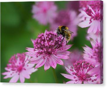 Pollination Canvas Print by Shirley Mitchell