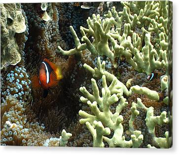 At Home On The Reef Canvas Print