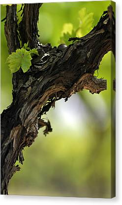 Canvas Print featuring the photograph At Lachish Vineyard by Dubi Roman